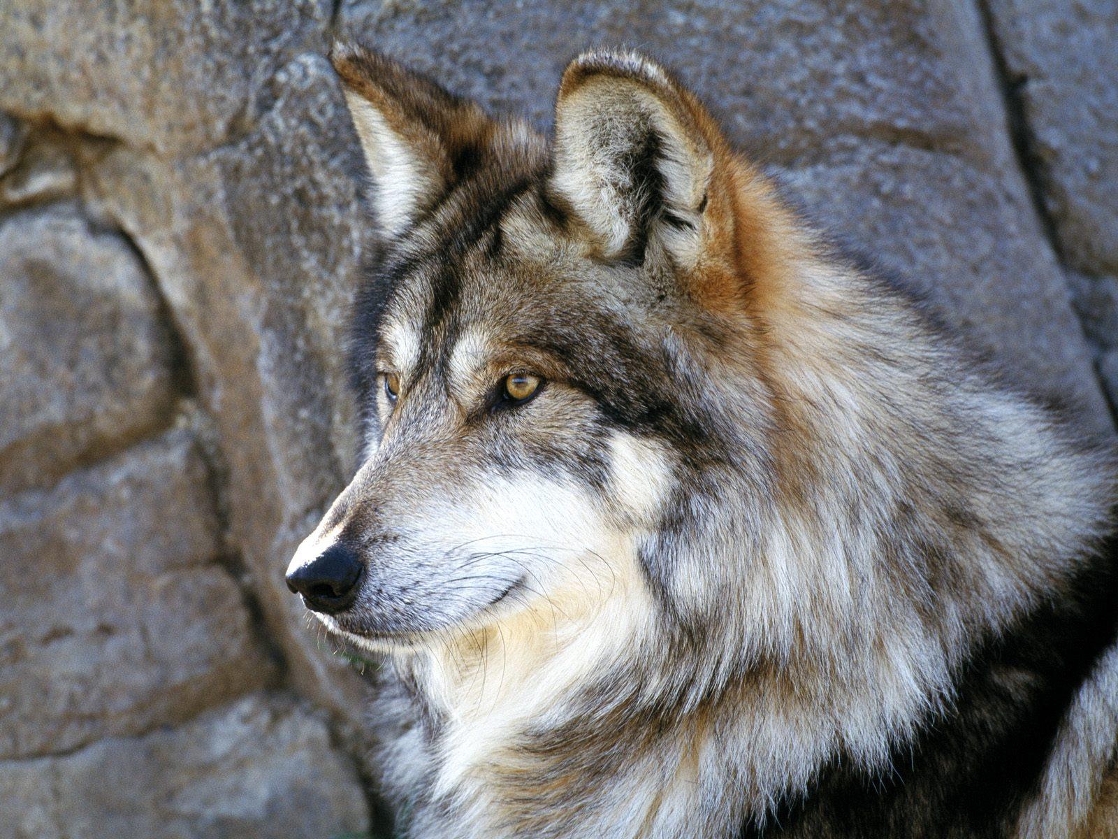 farkas_wolf11.jpg