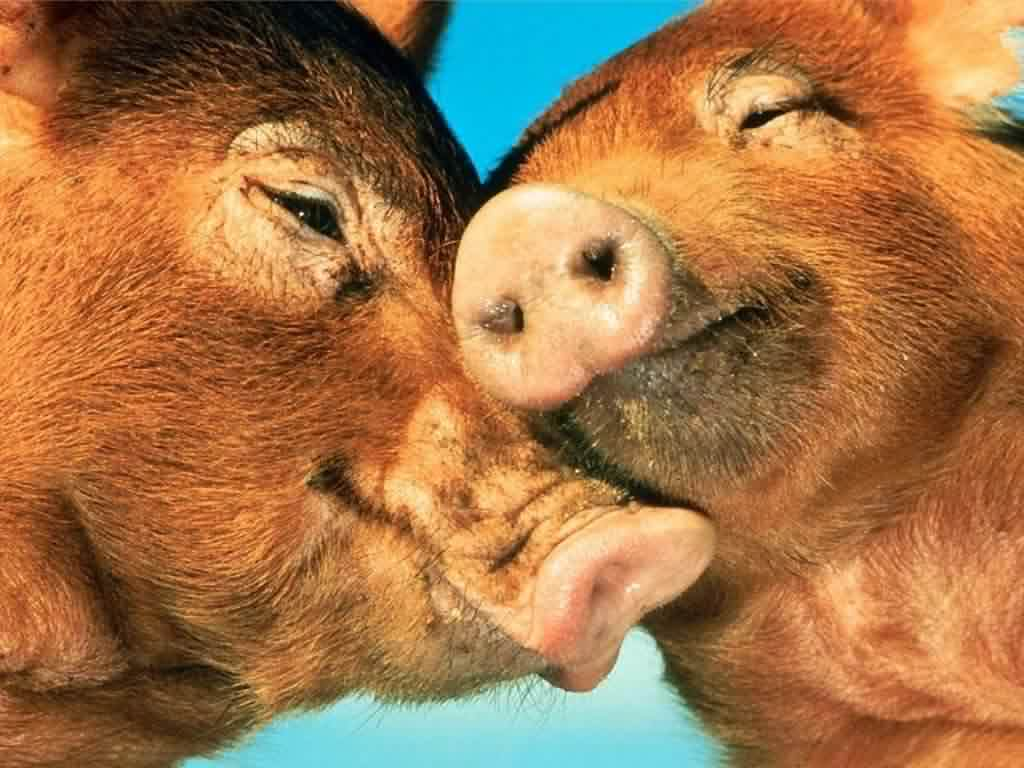 Animals Love Piggy Love Wallpapers