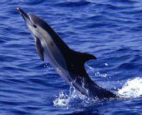 http://www.vadallatok.hu/kepek/adatlap_kepek/kozonseges_delfin.jpg